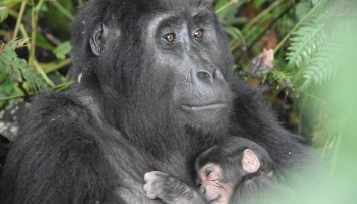 Uganda Welcomes Seventh Baby Gorilla in 2020